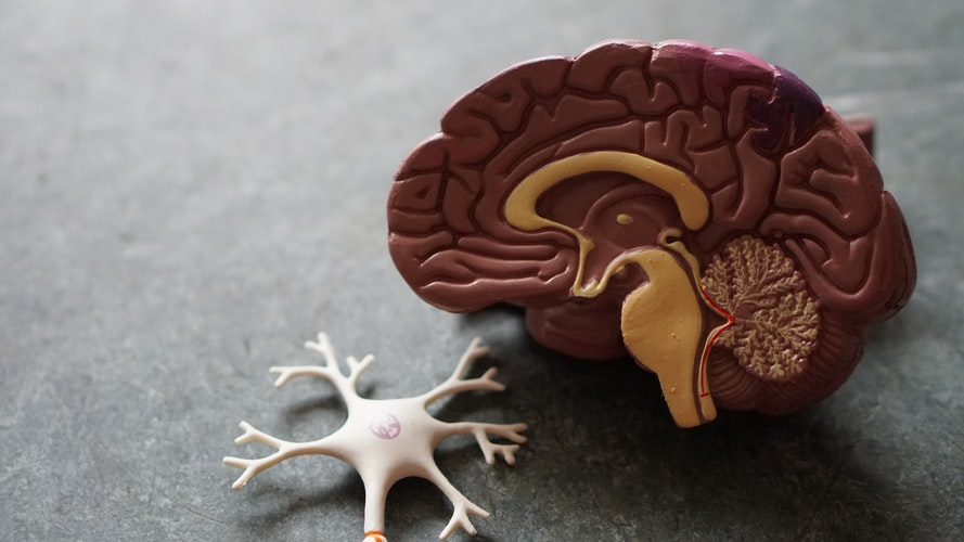 plastic brain and central nervous system model